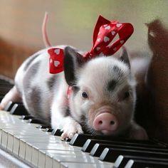 piano piggy ;-)))))) #pig funny