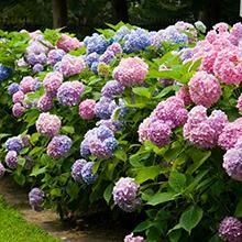Call for the perfect plants that thrive in your area. Find the ideal rose bushes, privacy trees, flowering shrubs and patio plants! Hydrangea Shrub, Hortensia Hydrangea, Hydrangea Macrophylla, Hydrangea Care, Limelight Hydrangea, Dogwood Trees, Rose Trees, Garden Shrubs, Flowering Shrubs