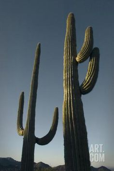 Two Saguaro Cacti in the Sonoran Desert Photographic Print by Design Pics Inc at Art.com