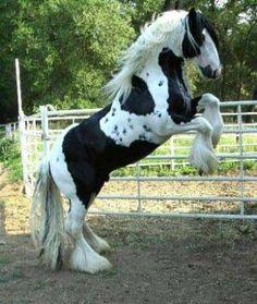 http://www.gypsymvp.com/horses/crescendo/sire.jpg