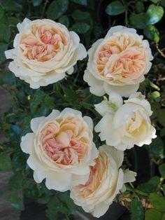 1000 images about in the rose garden on pinterest. Black Bedroom Furniture Sets. Home Design Ideas