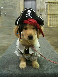 A golden dressed like a pirate!!! Usually I don't approve of dressing up animals, but if it's just for a Halloween costume or photo shoot and doesn't harm or restrain the animal, and it's dressed like a PIRATE!!! I love it!
