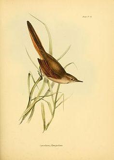 Asthenes pyrrholeuca - Gould.jpgEl canastero coludo (Asthenes pyrrholeuca) es una especie de ave paseriforme perteneciente a la familia Furnariidae, la de los horneros, que vive en Sudamérica.