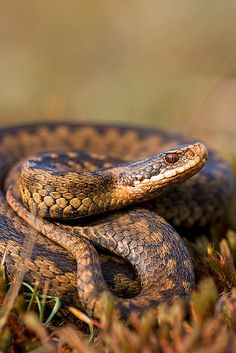 These gorgeous Adders are native to the UK, and the only venomous snake we have. I love how they have a permanent scowl! Les Reptiles, Reptiles And Amphibians, Matt Berry, All About Snakes, Serpent Snake, Snake Venom, Beautiful Snakes, British Wildlife, Wildlife Nature