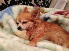 Chihuahua sleep