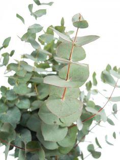 Eukalyptus der Sorte 'Cineara': Frische Eukaylptuszweigen machen sich gut mit anderen Schnittblumen oder alleine in der Vase. Er versprüht einen angenehmen Duft - jetzt mehr entdecken auf Blumigo.de!  Ganzjährig Saison im Januar, Februar, März, April, Mai, Juni, Juli, August, September, Oktober, November und Dezember. #blumen #grün #beiwerk #bindegrün #hochzeitsblumen #hochzeit #hochzeitsdeko #weddingflowers #eukaylptuszweige