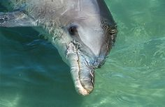 Close-up of a cute Bottlenose Dolphin