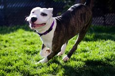 How Pit Bull Lovers Are Spreading the Word About the Breed - Pet360 Pet Parenting Simplified