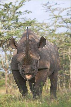 Rhinoceros. Black rhino