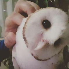 😏😏😏😏😆 #Barnowls #tytofurcata #tytoalba #bird #suindara #owls #loveowls #owlsnow #corujas #corujadaigreja #passaros #avederapina #animals #exoticbirds #exoticpets #pets #pet #estimacao #owl #owladdicted #coruja #animal #animallover #estimacao #birdslover