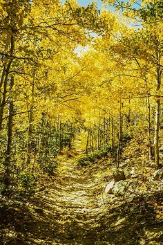 Golden Aspens In Colorado Mountains. This photo, Fall Color of Golden Aspen in the Colorado Mountains, was taken on a forest trail in Golden Gate State Park west of Denver, Colorado. Nature, outdoor, wildlife and landscape scenes photographed by NaturesPix