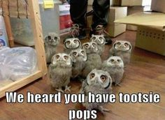 """Owl humor!!! TOOO CUTE!!... For those who may not know there used to be (like in the 1970's) a Tootsie Pop sucker commercial that had a wise owl licking a Tootsie Pop and saying, """"How many licks does it take to get to the choclatey center of a Tootsie Pop?...A one, a two, a three...."""""""