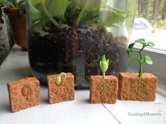 Growing Plants with Kids!  Awesome manipulative for kids to handle.