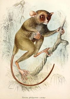 Scientific Illustration | Philippine tarsier; Säugethiere vom Celebes- und Philippinen-Archipel, 1-2. Published, Berlin, R. Friedländer & sohn,1896-9. The Philippine Tarsier is only 3-6 inches tall, it is one of the smallest primates.