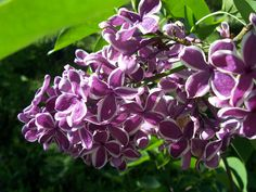 My variegated lilac...