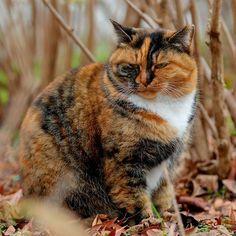 『防寒膨張』 : 寒さ対策のため、着膨れ状態になっていますニャ。§^(T)^§ : #野良猫 #野良ねこ #野良ネコ #のら猫 #のらねこ #ノラネコ #ノラ猫 #外猫 #地域猫 #猫 #ねこ #ねご #ネコ #neko #僕らの居場所は言わにゃいで #デブとは言わにゃいで #着膨れ状態 #猫玉国
