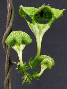 Ceropegia sandersonii look like they should make hissing noises. Weird Plants, Unusual Plants, Rare Plants, Exotic Plants, Cool Plants, Strange Flowers, Unusual Flowers, Rare Flowers, Green Flowers