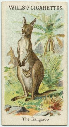 The Kangeroo - Animals & Birds series for Will's Cigarettes from The New York Public Library Digital Collections