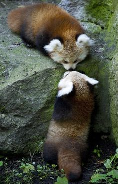 I really love red pandas! Two red pandas kissing. Cute Baby Animals, Animals And Pets, Funny Animals, Wild Animals, Beautiful Creatures, Animals Beautiful, Photo Panda, Cute Bear, Panda Love