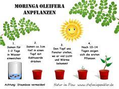 Moringa Oleifera anpflanzen