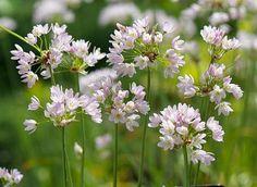 Buy rosy flowered outdoor star garlic bulbs Allium roseum - Very pretty small flowerheads: 25 bulbs: Delivery by Crocus Flores Allium, Allium Flowers, Bulb Flowers, Garden Bulbs, Planting Bulbs, Planting Flowers, Garden Plants, Garden Bed, Summer Flowering Bulbs