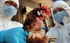 ΓΝΩΜΗ ΚΙΛΚΙΣ ΠΑΙΟΝΙΑΣ: Επείγουσα ενημέρωση πτηνοτρόφων για την γρίπη των ...
