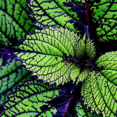 Houseplants That Filter the Air We Breathe Coleus Cacophony Of Collasal Colors From Nature's Amazing Palette Shade Garden, Garden Plants, Outdoor Plants, Outdoor Gardens, Beautiful Gardens, Beautiful Flowers, Foliage Plants, Shade Plants, Container Plants