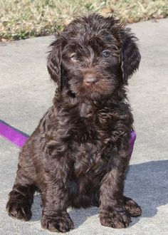 Sweet Female Chocolate Standard Australian Labradoodle Puppy For Sale