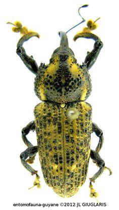 Odontoderes spinicollis  (Boheman)