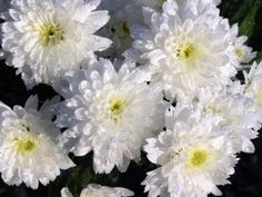 Plant Care For Chrysanthemum Annual Chrysanthemum, Perennial Bulbs, Early Spring Flowers, Mother Images, Asiatic Lilies, Flower Studio, Singing Happy Birthday, Flower Images, Plant Care