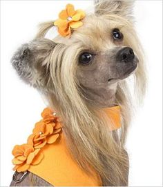 Tangerine Tinkie's Garden Dog Vest Harness Chinese Crested Hairless, Mini Dogs, Dog Vest, Pet Fashion, Dog Hacks, Dog Carrier, Dog Pattern, Pet Carriers, Dog Harness
