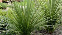 Buy Pair of Hardy Green Torbay Palms UK deal for just: £19.99 Create a stunning focal point in your garden with a Pair of Hardy Green Torbay Palms Bright green, spiky leaves - ideal for adding a tropical touch to your garden. Fully hardy and easy to grow Perfect for sunny or lightly shaded positions Place in patio pots or well-drained soil When mature, the plants...