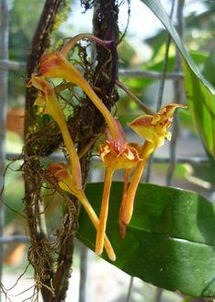 Dendrobium panduriferum