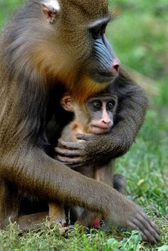 A mandrill mom clutches her baby during their first public appearance at the Budapest Zoo. She has good reason to be protective—mandrills are an endangered species of West Africa.