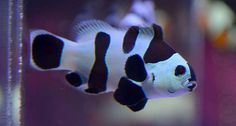 Black Storm Clownfish are the latest craze in designer clowns.  What makes them so special?  We dive into the subject.