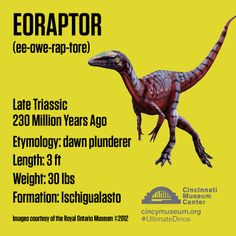 Meet Eoraptor. Our first #UltimateDino of the week.   He's was little guy of Gondwana, but that doesn't mean he was nice to play with!   Collect his Ultimate Dinosaur trading card when you visit the Exhibition.   #CincyRAWRS