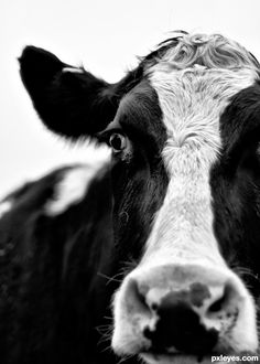 I have a wonderful love for cows. I blame it on growing up on a farm.