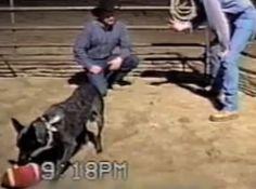 INCREDIBIL! Cel mai ascultator caine din lume (VIDEO)