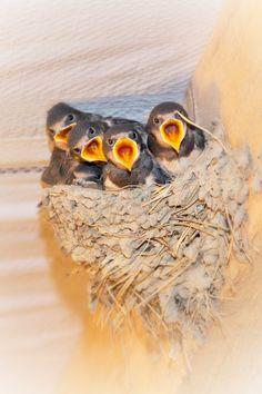 Barn swallows - l'hirondelle de cheminée