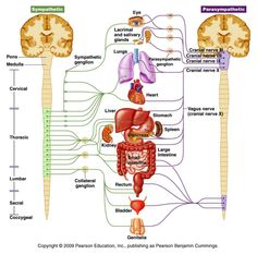 cranial+nerve+function+test   Sympatheticbranch comes up from the middle, thoracic part of the ...