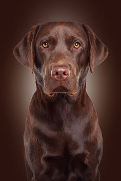 Quiz How Well Do You Know About Labradors
