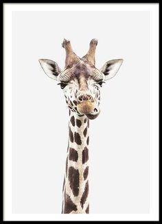 Schönes Bild mit einem Giraffenjungen vor grauem Hintergrund. Das Poster passt hervorragend zu unser...