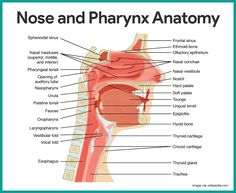 Nose and Pharynx Anatomy-Respiratory System Anatomy and Physiology    https://nurseslabs.com/respiratory-system/