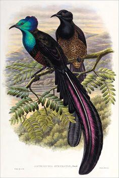 Richard Bowdler Sharpe_ Birds of paradise 54