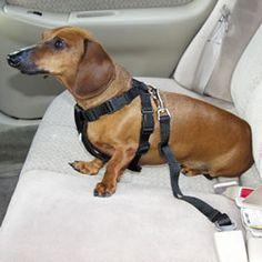 This picture is from Alphadogtoys.com and it was last revised in 2008. Dogs are part of your family too! Although I'm not sure how pet friendly this is, this could help save lives. If you slam on the breaks or get hit, your dog could go flying out the window. With this puppy seat belt, it holds your dog down so he's safe, and it prohibits him from flying to the windshield and possibly hitting it or you.