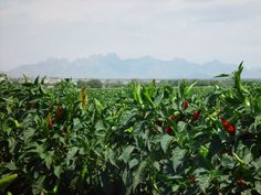 NM Paprika field in Southern NM in near the city of Las Cruces.