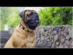 "Stunning Bullmastiff walking in ""Vogue Mania"" Leather Dog Collar with Brass Plates Bullmastiff, Leather Dog Collars, Dog Treats, Walking, Vogue, Brass, Plates, Animals, Licence Plates"