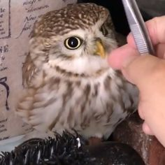 I don't understand this reaction. This baby Owl is very loved anyway. It is a French owl. The paper behind the owl baby is written in French. Beautiful Owl, Animals Beautiful, Cute Funny Animals, Cute Baby Animals, Nature Animals, Animals And Pets, Owl Photos, Cute Babies, Fun Baby