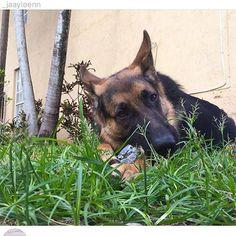 #gsd#germanshepherdsofinstagram #germanshepherdoftheworld #germanshepherd#dog#doggy#instadog #instapic#picoftheday #owczarekniemiecki #pies#k9#big#picoftheday #germanshepherdonline #germanshepherd4life #l4l#like4like #likeforlike #likeme#f4f#followforfollow #follow4follow #followme by germanshepherdfanpage