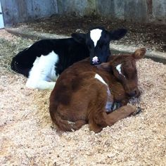 Awww! Little baby cows at a farm in Abbotsford BC